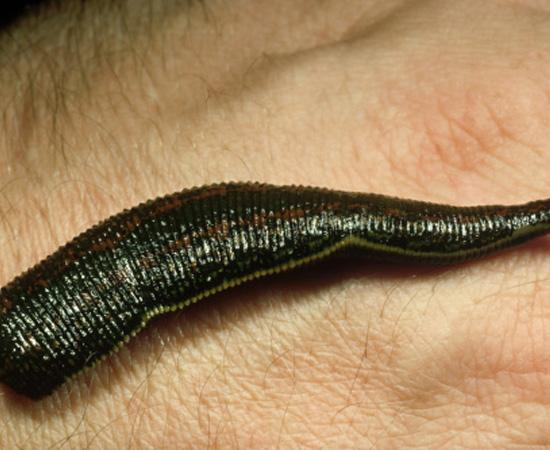 Vermes com corpo segmentado em anéis, como as minhocas e sanguessugas. Na maioria das vezes, são hermafroditas. São invertebrados.