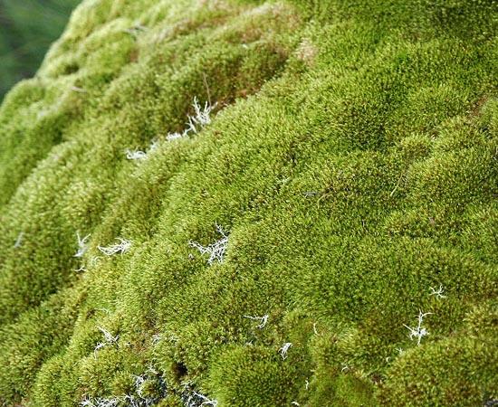 EVOLUÇÃO DAS PLANTAS - Estude sobre gametófitos, esporófitos, fase espórica, briófitas, pteridóficas, gimnospermas, angiospermas e algas.