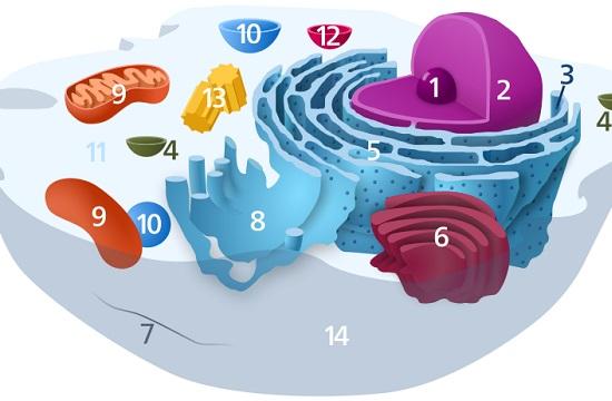 Todos os animais e plantas têm células eucarióticas. A riqueza em membranas é a característica mais importante desse tipo de células.  (Foto: Creative Commons)
