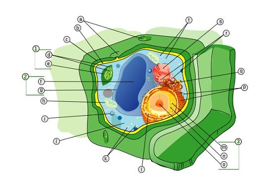 O retículo endoplasmático rugoso faz a síntese de proteína. Enquanto isso, retículo endoplasmático liso cuida da síntese de lipídios. Nas células vegetais, os cloroplastos contém o pigmento envolvido na fotossíntese, enquanto os cromoplastos contêm os pigmentos não verdes. (Foto: Creative Commons)