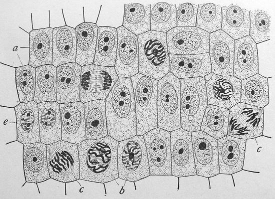 A unidade estrutural de um ser vivo é a célula. A maioria dos seres vivos é unicelular, ou seja, com apenas um célula. Nesse grupo estão as bactérias, por exemplo. Incontáveis organismos são  pluricelulares - neste grupo estão os animais e as plantas. (Foto: Creative Commons)