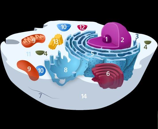 CÉLULAS - Estudante sobre a teoria celular e sobre os componentes de uma célula.