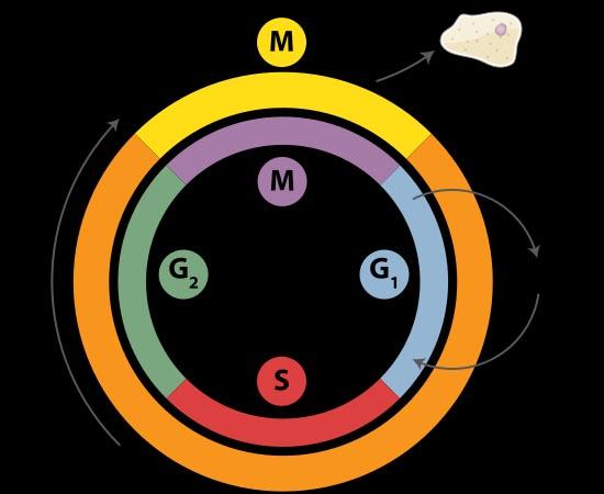 DIVISÃO CELULAR - Estude sobre o período de preparação e sobre as fasea da mitose e da meiose.