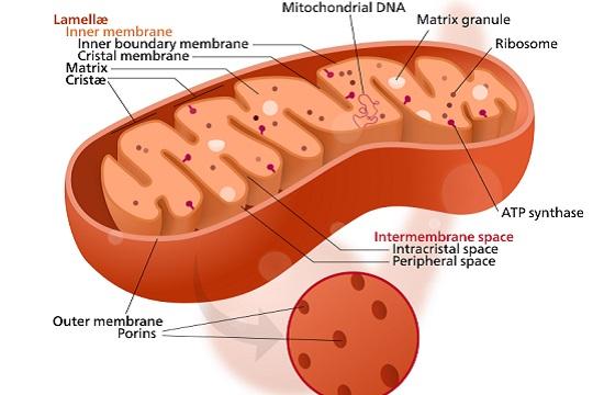 A principal função das mitocôndrias é liberar energia aos poucos, das moléculas de glicose e ácidos graxos. É desse processo que resultam a liberação de calor e de moléculas de ATP (adenosina-trifosfato). (Foto: Creative Commons)