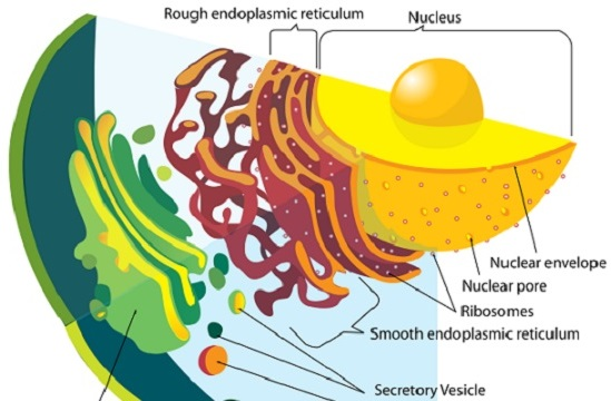 O citoplasma das células eucarióticas é envolto pela membrana plasmática e é formado pela matriz, organelas e diversos compartimentos. O espaço entre esses compostos é preenchido pela matriz citoplasmática ou citosol. (Foto: Creative Commons)