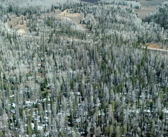 FLORESTA DE CONÍFERAS - Estude sobre as características deste tipo de vegetação.