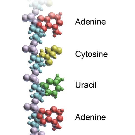 A molécula de RNA é consequência do processo de transcrição do DNA. Nele, as cadeias do DNA se separam e uma delas serve de molde para o RNA (a outra cadeia permanece inativa durante todo o processo). Assim, o RNA apresenta apenas uma cadeia simples, composta por diversos nucleotídeos. Sua função está intimamente ligada ao DNA, auxiliando a coordenar os processos celulares. (Imagem: Wikimedia Commons)