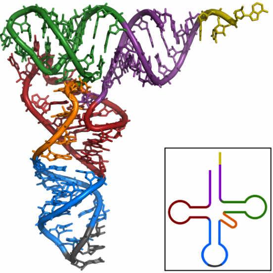 Os diferentes tipos de RNA estão diretamente envolvidos no processo de síntese proteica. Ele pode ser classificado em três formas diferentes, de acordo com sua estrutura e função: RNA ribossômico (RNAr), RNA mensageiro (RNAm) e RNA transportador (RNAt). O RNAr, tipo de RNA mais abundante nas células, é o constituinte primário dos ribossomos; o RNAm atua com os ribossomos na sintese proteica; o RNAt carrega os aminoácidos utilizados para a síntese das proteínas. A imagem representa a estrutura do RNAt, que estruturalmente lembra um trevo de quatro folhas. (Imagem: iStock)