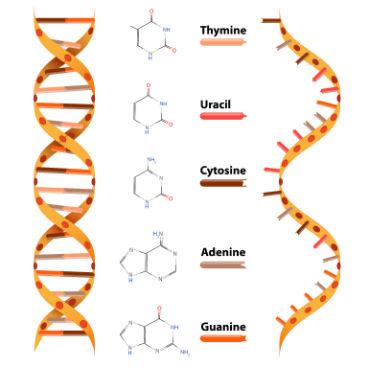 O  ácido desoxirribonucleico (DNA) e o ácido ribonucleico (RNA) são tipos de ácidos nucleicos. Cada nucleotídeo que os compõe é formado por três partes: um radical fosfato, uma pentose (açúcar formado por cinco átomos de carbono) e uma base nitrogenada. Desses componentes, apenas o radical fosfato é o mesmo tanto para o DNA quanto para o RNA. Já a pentose presente no RNA é a ribose, enquanto a do DNA é a desoxirribose. (Imagem: iStock)