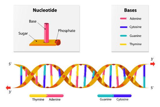 Em 1953, Watson e Crick propuseram o modelo da estrutura da molécula de DNA, em que ela é formada por uma dupla hélice, com duas cadeias polinucleotídicas envoltas uma à outra em forma de espiral. Para isso, as bases nitrogenadas de uma fita se ligam à da outra por ligações de pontes de hidrogênio. O pareamento das bases ocorre sempre entre uma púrica e uma pirimídica. No DNA, a adenina se liga à timina e a guanina se liga à citosina. (Imagem: iStock)