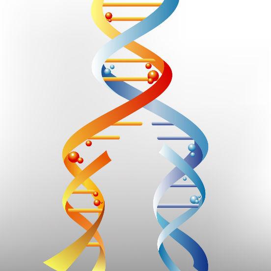 A replicação do DNA acontece de forma semiconservativa: as duas cadeias complementares se separam sob ação da enzima DNA polimerase, que rompe as pontes de hidrogênio entre as bases nitrogenadas. Assim, cada uma delas serve como molde para a formação de uma nova fita. A replicação acontece sempre antes da divisão celular. (Imagem: iStock)