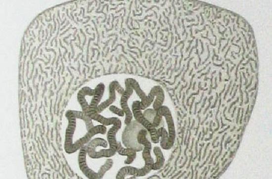 O núcleo contém o DNA celular e controla as atividades da célula por meio dos genes; enquanto os nucléolos estão no interior do núcleo - é lá que ocorre a síntese de ribossomos. (Foto: Creative Commons)
