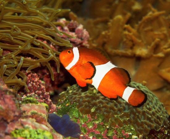 Animais aquáticos, de sangue frio, dotados de nadadeiras e que respiram por guelras ou brânquias. São cordados.