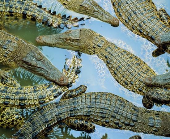 Animais ectotérmicos (de sangue frio) e pele recoberta de escamas córneas (cobras e lagartos) ou placas ósseas (tartarugas). São cordados.
