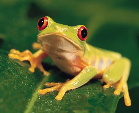 Animais que passam parte da vida na água e outra parte em terra, como rãs e sapos. Na água, respiram por brânquias. Em terra, por pulmões. Também fazem troca gasosa pela pele. São cordados.