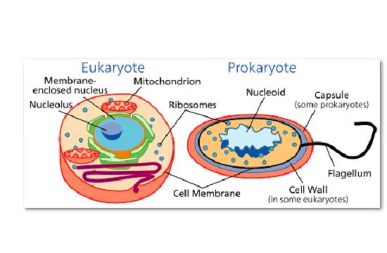 Todos os seres vivos têm células de dois tipos básicos: procariontes e eucariontes. A diferença entre elas? As células eucarióticas são maiores e mais complexas. Têm duas partes bem distintas, o citoplasma e o núcleo. (Foto: Creative Commons)