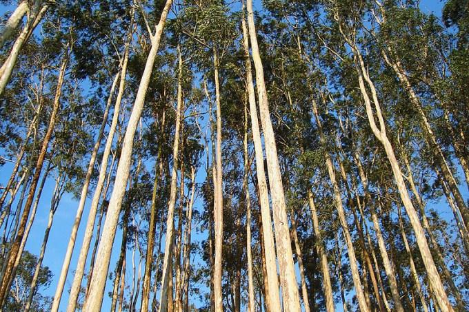 800px-eucalyptus_sp
